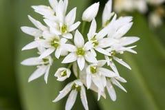 Alpinum de leontopodium d'Edelweiss Image stock