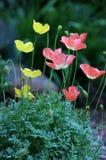 Alpinum de pavot   Photographie stock libre de droits