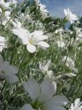 Alpinum del Cerastium Fotografia Stock Libera da Diritti
