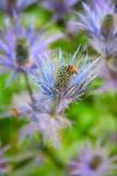 Alpinum del Eryngium (stella blu) Fotografie Stock Libere da Diritti