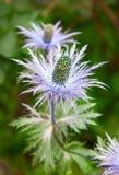 Alpinum del Eryngium (stella blu) Fotografie Stock