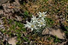 Alpinum del Leontopodium Fotografia Stock Libera da Diritti