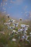 Alpinum del Leontopodium Immagini Stock