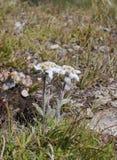 Alpinum del Leontopodium Immagini Stock Libere da Diritti