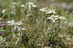 Alpinum del leontopodium di Edelweiss Fotografia Stock Libera da Diritti