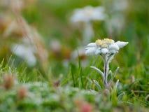 Alpinum del Leontopodium (edelweiss) Immagine Stock