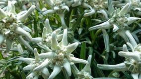 Alpinum del Leontopodium, edelweiss del fiore, simbolo delle alpi Fotografia Stock Libera da Diritti