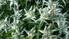 Alpinum del Leontopodium, edelweiss famoso del fiore Fotografia Stock
