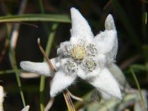 Alpinum del Leontopodium, Savoia, Francia Immagini Stock