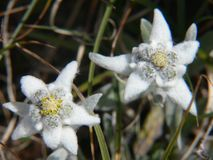 Alpinum del Leontopodium, Savoia, Francia Fotografia Stock Libera da Diritti