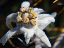 Alpinum del Leontopodium, Savoia, Francia Immagine Stock Libera da Diritti