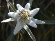 Alpinum del Leontopodium, Savoia, Francia Fotografie Stock Libere da Diritti