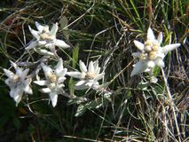 Alpinum del Leontopodium, Savoia, Francia Immagini Stock Libere da Diritti