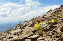 Alpinum del papavero Fotografia Stock