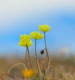 Alpinum del papavero Fotografia Stock Libera da Diritti