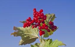 Alpinum del Ribes Fotografie Stock
