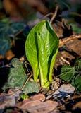 Alpinum di aro Fotografia Stock