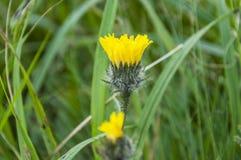 Alpinum giallo L del Hieracium del fiore Fotografia Stock Libera da Diritti