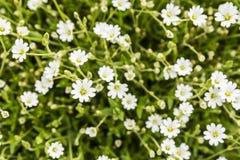 Alpinum L del Cerastium Immagini Stock