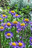Alpinus alpin de floraison d'aster d'aster Photo stock