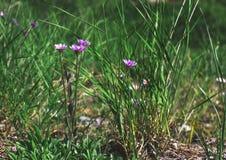 Alpinus alpino dell'aster dell'aster nell'erba della foresta Fotografia Stock