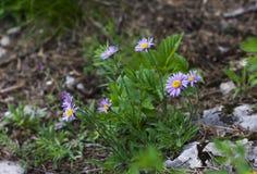 Alpinus alpino dell'aster dell'aster sulle pietre nell'erba della foresta Fotografie Stock Libere da Diritti