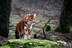alpinus cuon dhole Zdjęcie Royalty Free