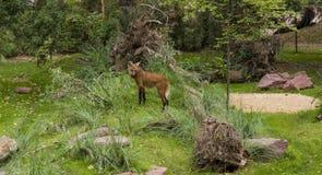 Alpinus de Cuon de loup rouge entouré par des arbres et des buissons Le loup rouge énuméré dans le livre rouge image stock