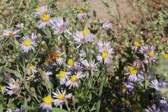 Alpinus del aster o aster alpino púrpura o flor de la lila con una abeja Foto de archivo libre de regalías