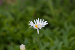 Alpinus dell'aster Immagine Stock