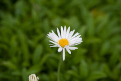 Alpinus dell'aster Fotografia Stock