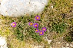 Alpinus dell'aster, Abruzzo, Italia Fotografia Stock Libera da Diritti