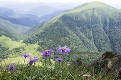 Alpinus dell'aster, aster alpino in fioritura Immagini Stock Libere da Diritti