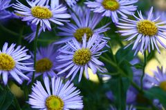 Alpinus dell'aster in fiori Immagine Stock Libera da Diritti