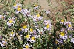 Alpinus dell'aster o fiore porpora o lilla dell'aster alpino con un'ape Immagini Stock Libere da Diritti