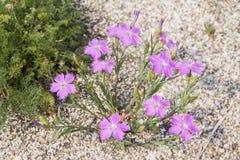 Alpinus do cravo-da-índia - arbusto cor-de-rosa alpino do cravo com as flores cor-de-rosa brilhantes Imagem de Stock