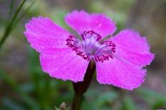 Alpinus van Dianthus Royalty-vrije Stock Afbeeldingen