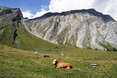 Alps. Cow grazing on the pasture in Hohe Tauern National Park in Austria Royalty Free Stock Photos