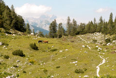 The Alps. A hiking path next to some cows in the Julian alps (Slovenia Royalty Free Stock Image