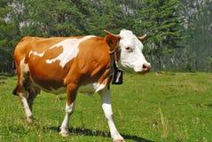 alps brąz krowy odprowadzenia biel Obraz Stock