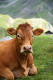 Alps cow Royalty Free Stock Images