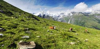 Alps and cows Royalty Free Stock Image