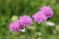 Alps flora: Pink mist (Scabiosa columbaria) Royalty Free Stock Image