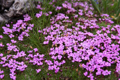 Alps flower. Little pink flowers Silene Acaulis. It's a typical flower that grows in the Alps in Europe Royalty Free Stock Images