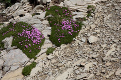 Alps flower. Little pink flowers Silene Acaulis. Its a typical flower that grows in the Alps in Europe Royalty Free Stock Photo