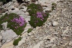 Alps flower royalty free stock photo
