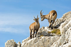 Alps ibex royalty free stock images
