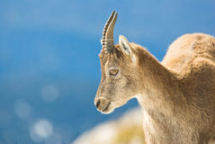 Alps ibex Stock Images