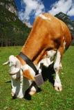 alps krowy łasowanie Zdjęcie Royalty Free