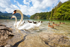Alps lake with birds royalty free stock photo